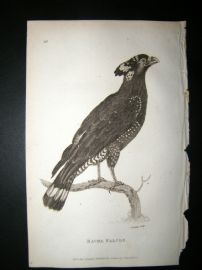 Shaw C1810 Antique Bird Print. Bacha Falcon